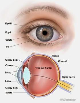 Pengertian, Bagian - Bagian Mata dan Fungsinya
