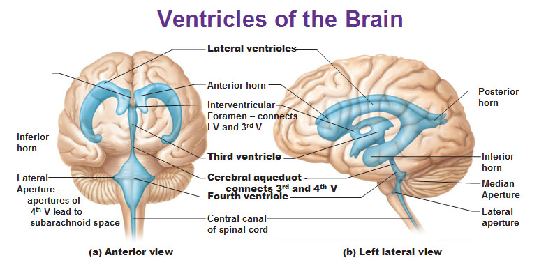 Cns cns these ventricles are filled with cerebrospinal fluid which help to protect the brain and the spinal chord from any lesions or trauma and also helps with the ccuart Choice Image