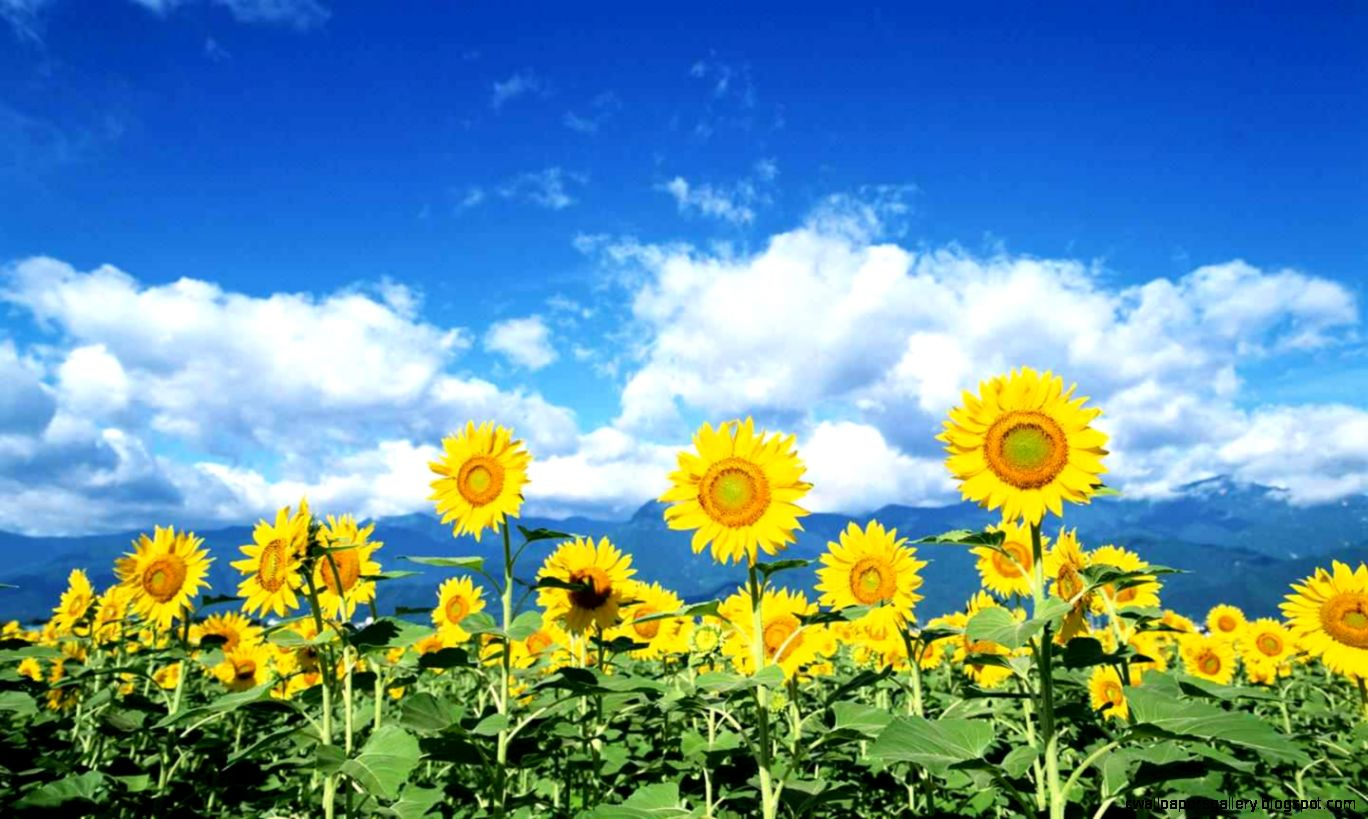 Sunflower Wallpaper Desktop  cute Wallpapers