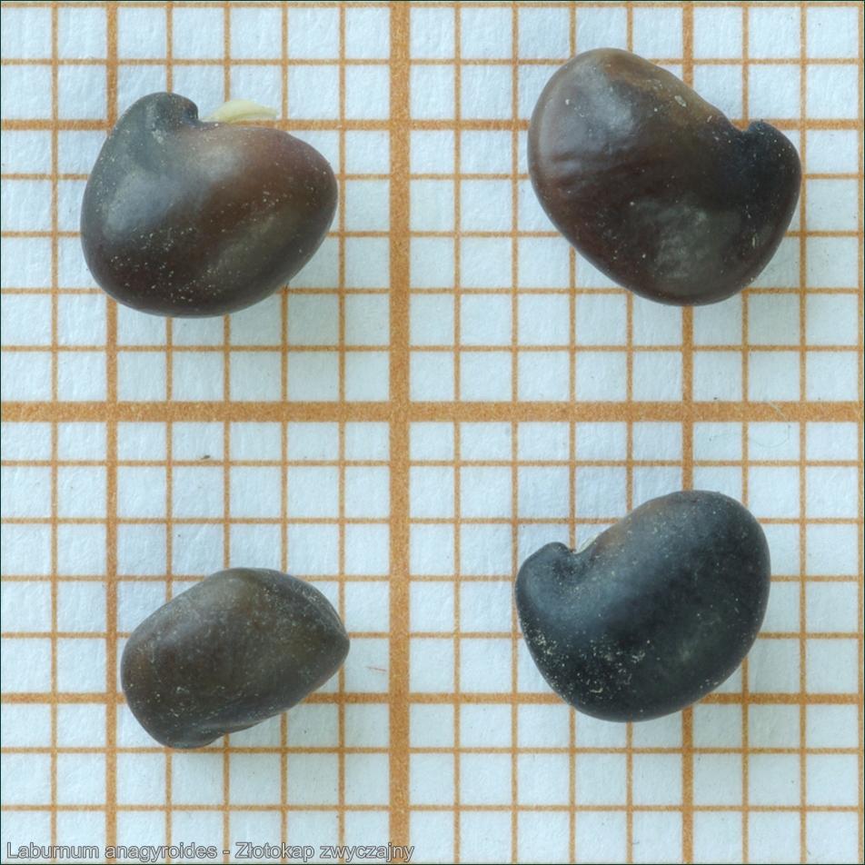 Laburnum anagyroides seeds - Złotokap zwyczajny nasiona