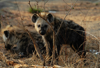 Hyena images