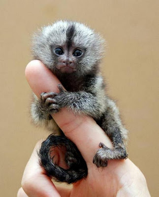 Smallest Monkey