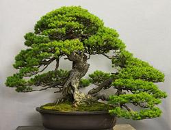Este es mi icono en mis sitios de bonsai.