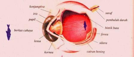 Mata : Proses Melihat atau Mekanisme Penglihatan