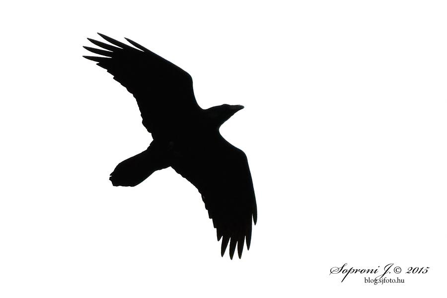 Holló - Kolkrabe - Northern Raven - Corvus corax