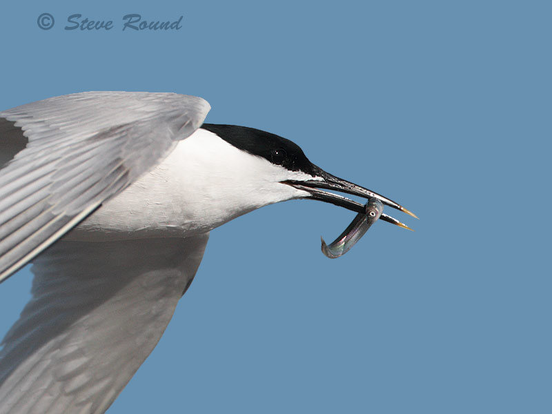 sandwich tern, seabird, bird, nature, wildlife