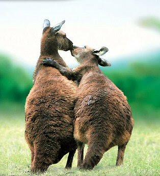 Animals Love kissing kangaroos