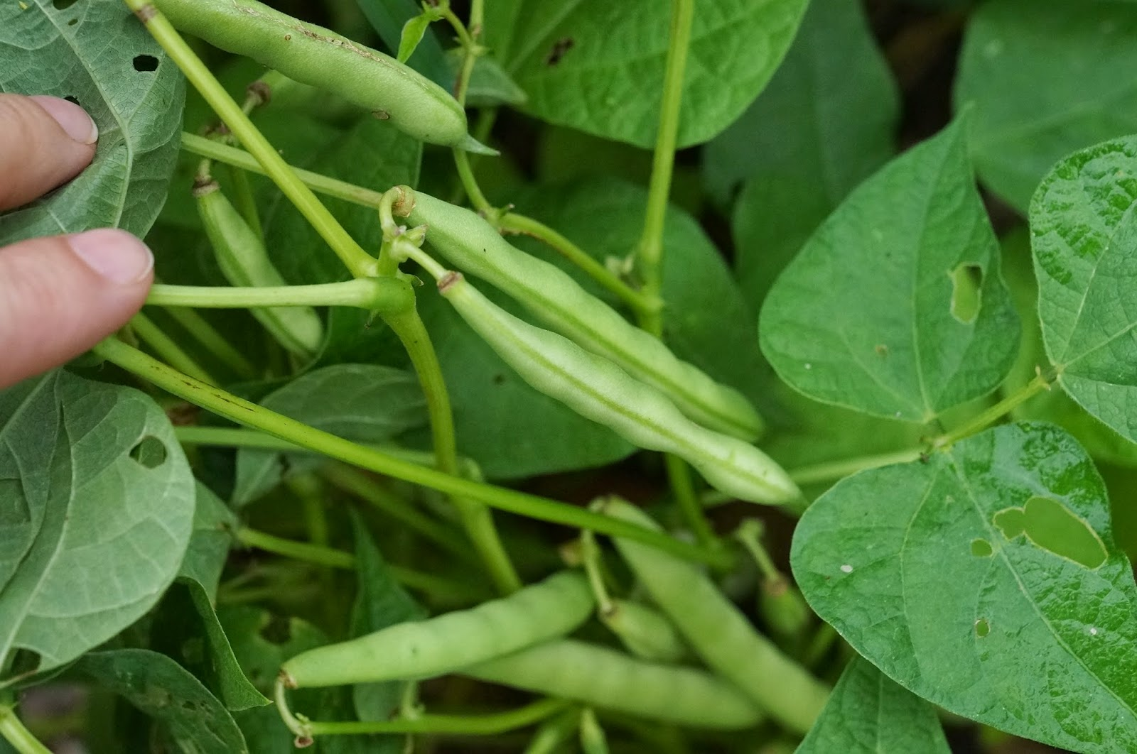 Beans Plant Images They Plant Like Green Beans do