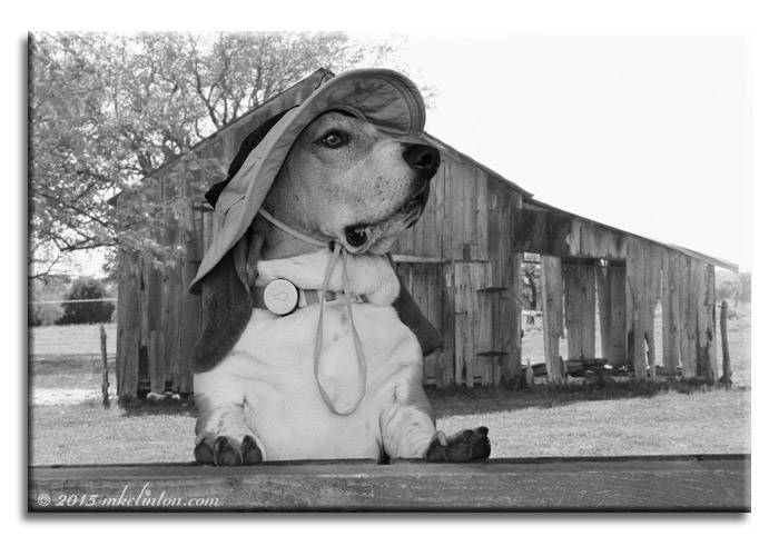 Basset Hound wearing hat by old wooden shed