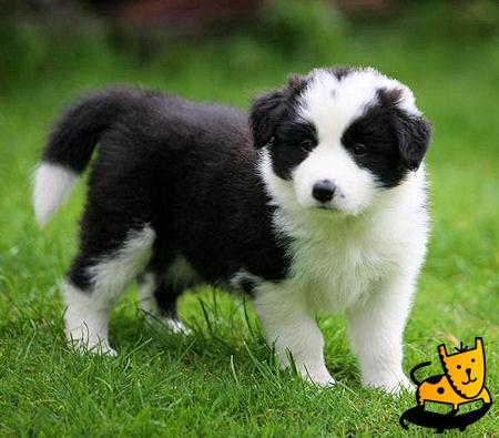 Top 10 Worlds Smartest Dog Breeds border collie