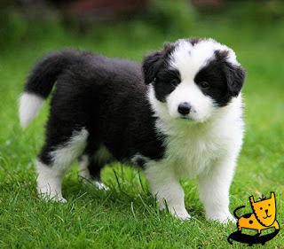 Top 10 Worlds Smartest Dog Breeds border collie