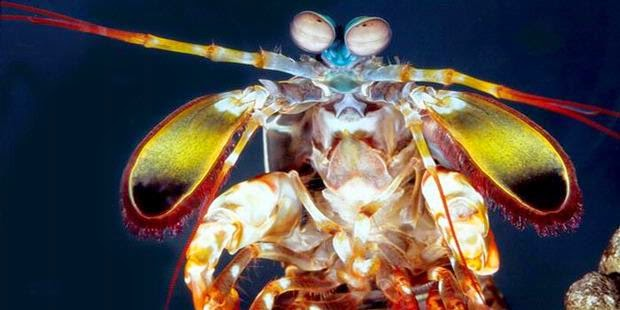 Harmful mantis shrimp.