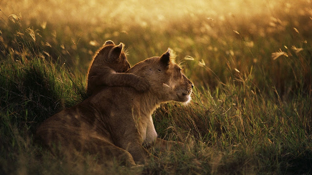 Cute Baby Lion Hugs Mother Lion HD Wallpaper
