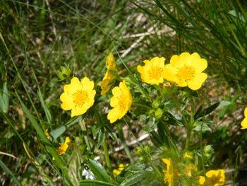 Potentilla grandiflora (Potentilla a fiori grandi)