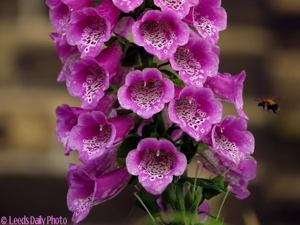 Foxglove Flower