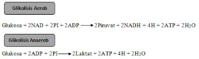 proses glikolisis aerobik dan anaerobik