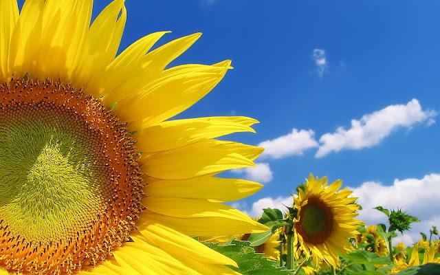 Veld met zonnenbloemen