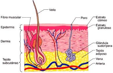 Imagen de la piel indicando sus 3 estratos y partes