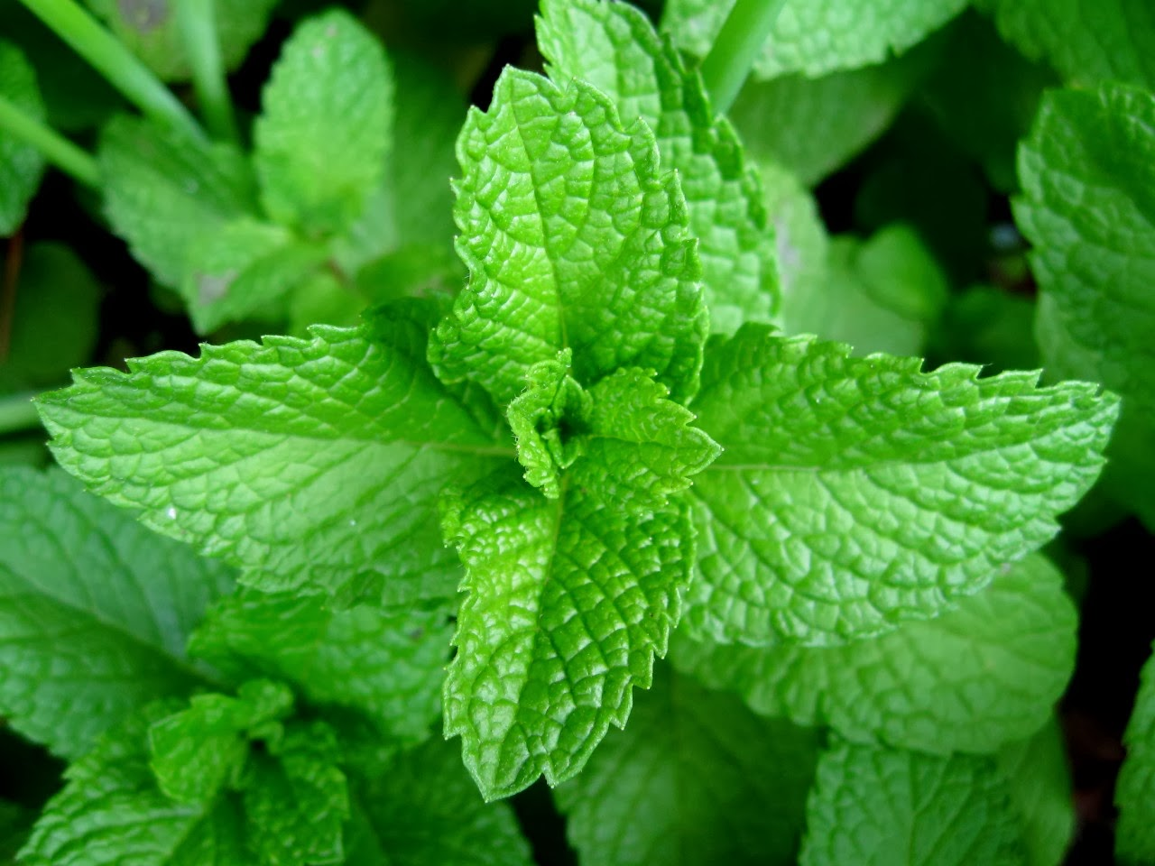 Peppermint Leaves Treatment