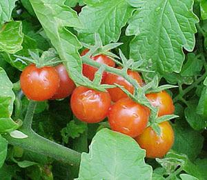 buah tomat dan budidaya buah tomat