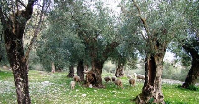 Amicomario dall olivastro all olivo la lunga storia di for Una storia a pianta aperta
