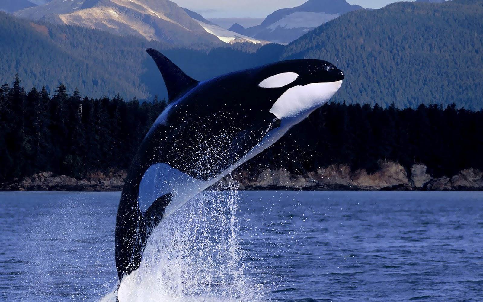 khaia orca facts