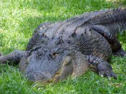 Alligators of the Wadmalaw River