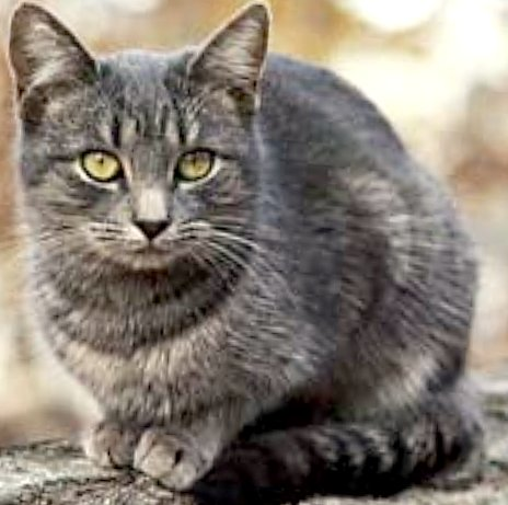 Gray Tabby Cat With Yellow Eyes