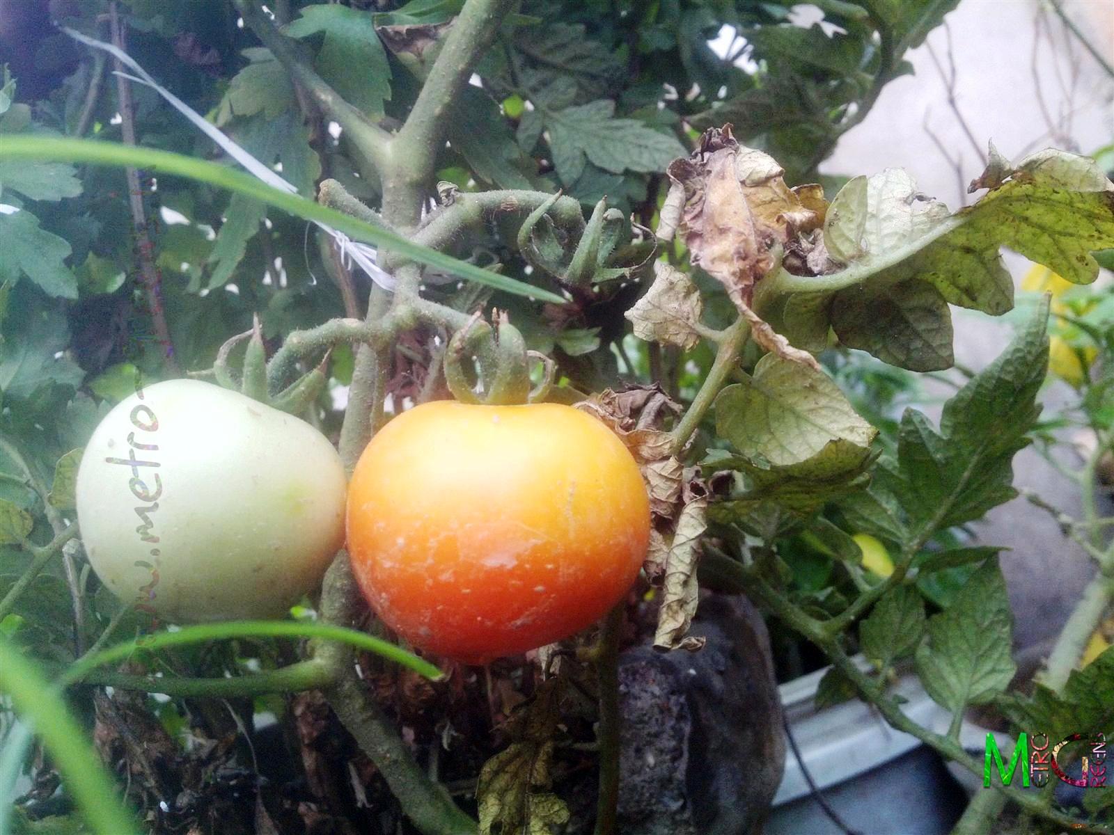 Metro Greens: Tomatoes