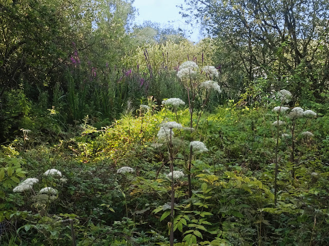 Hogweed on bank of Dickerson's Pit