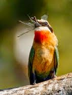 Especial abejarucos Botswana 2014