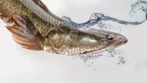Manfaat Ikan Gabus Bagi Penderita Diabetes