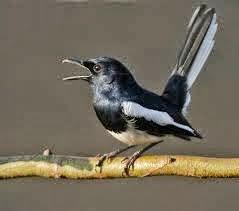 Gambar Cara Merawat Burung Laura