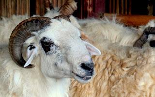 Panduan dasar ternak domba