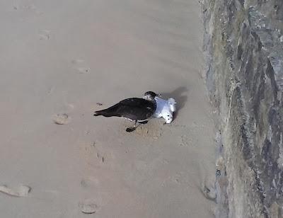 Págalo pomarino deborando una gaviota reidora. Autor Arkaitz Arnaiz