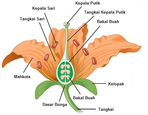 Bagian Bagian Bunga Tumbuhan Mikirbae