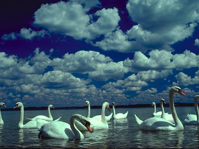 стая белых лебедей в воде