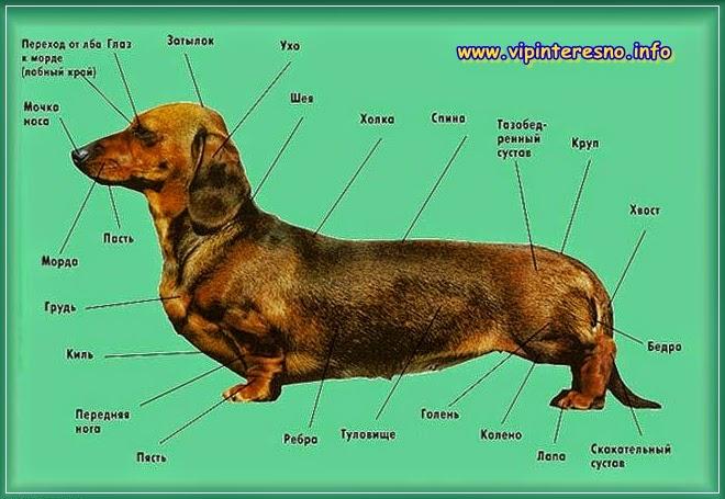 Собаки породы такса
