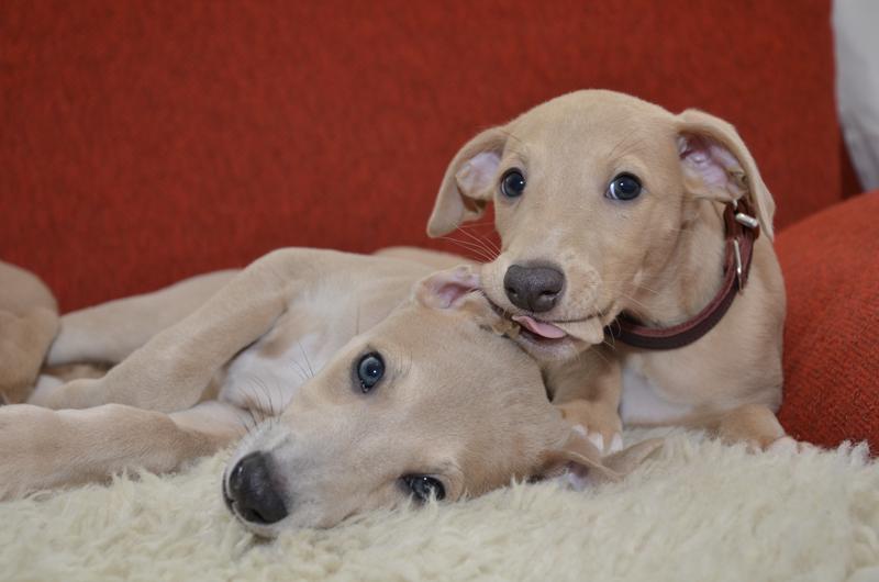 honden oren schoonmaken