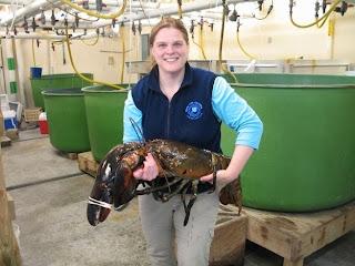 Lobster terbesar di dunia (tertangkap di Maine)