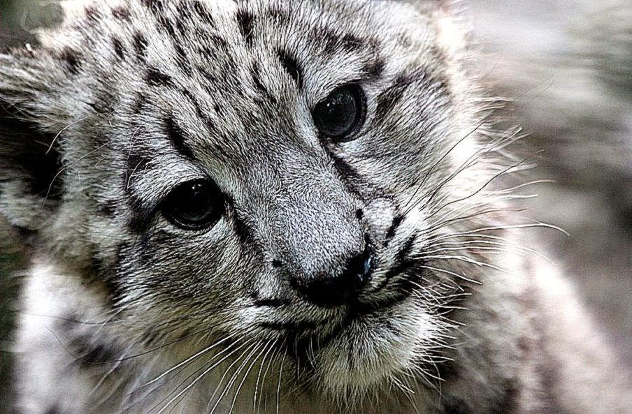 Snow Leopard Wallpaper Hd Download Best Hd Wallpapers