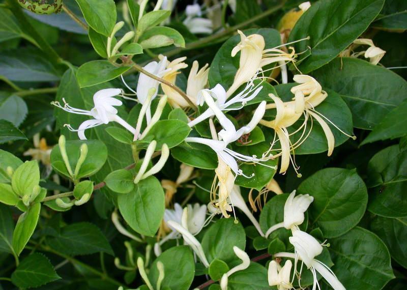 Bayindir ekd yari hanimel e lon cera - Madreselva planta ...
