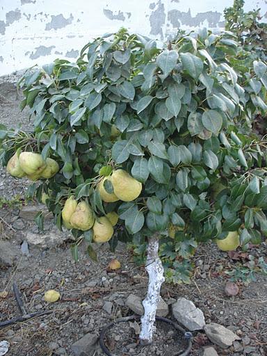 Arte y jardiner a arboles frutales enanos for Plantas frutales
