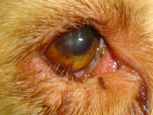 Ectropion Eye Dog