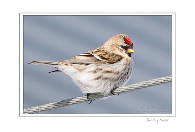 Common Redpoll - a female, by the lack of chest patch - on a wire.   © SB  Copyright Shelley Banks, all rights reserved.