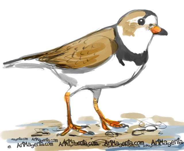 Piping Plover sketch painting. Bird art drawing by illustrator Artmagenta.