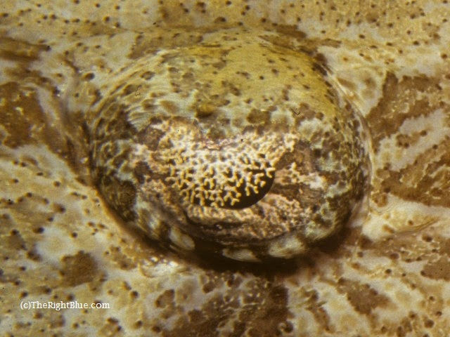 Macro photo of eye lappets on a Crocodile Fish