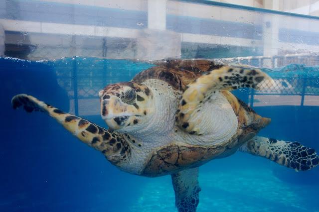 Texas State Aquarium 25th anniversary - Visit Corpus Christi - Sea Turtle