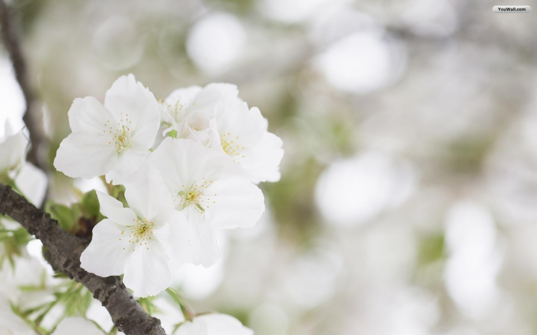 http://3.bp.blogspot.com/-fGw54nV8tng/T_W5XE7cOgI/AAAAAAAACeI/lB7QliarRrE/s1600/white+flower+wallpapers+6.jpg