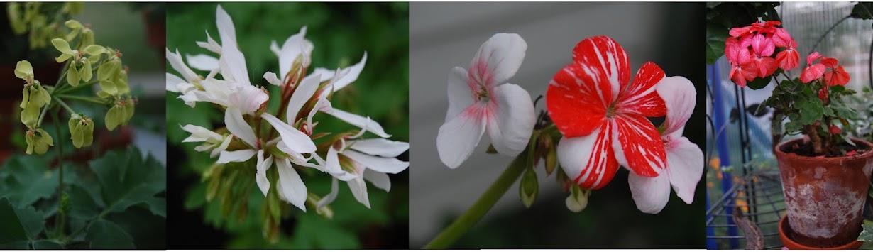 pelargoniumhagen